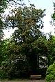 Aesculus carnea BotGartenMuenster PurpurKastanie 6694.jpg