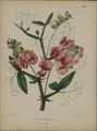 Afbeelding-062-Lathyrus latifolius.tif