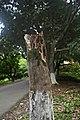 Affected Tree after Thunderstorm in National Botanical Garden of bangladesh.jpg