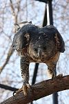 African Crowned Eagle 2.JPG