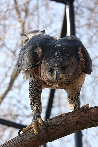 Crowned eagle - A zoo-kept adult crowned eagle in Hungary illustrates its formidable talons.