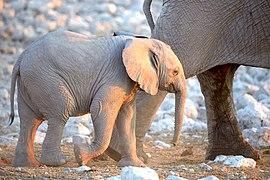 African Elephant Baby Walk 2019-07-23.jpg