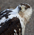 African Fish Eagle (5089647486).jpg