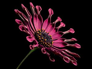 African daisy flower.jpg