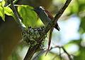 African paradise flycatchers, Terpsiphone viridis, nesting at at Walter Sisulu National Botanical Garden, December 1, 2014 (15917155716).jpg