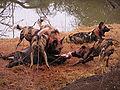 African wild dog3.jpg