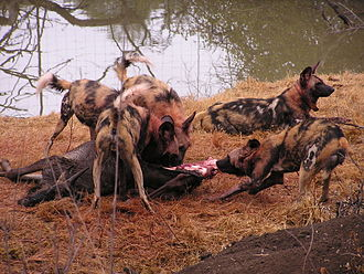 African wild dog - L. p. pictus pack consuming a blue wildebeest, Madikwe Game Reserve, South Africa