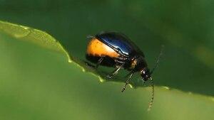 File:Agelastica alni (female).ogv