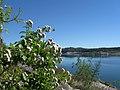Ageratina Havanensis, Shrubby Boneset - panoramio (1).jpg