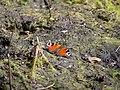 Aglais io in the Teufelsbruch swamp 02.jpg