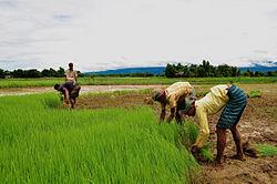 Agriculture of Bangladesh 11.jpg