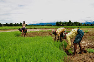 English: Agriculture in Bangladesh