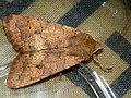 Agrochola circellaris - The Brick - Пухоногая совка рыжеватая (39299898650).jpg