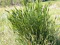 Agropyron cristatum (3822209034).jpg