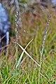 Agrostis dyeri Petrie (AM AK331147).jpg