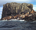 Aiugunak Pinnacles Steller Sea lions.jpg