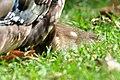 Aix galericulata (Küken) - Nymphenteich Zürichhorn 2011-06-10 16-39-50.jpg