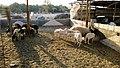 Al Dosari Zoo ^ Natural Reserves -QATAR - panoramio (23).jpg