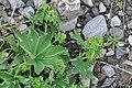 Alchemilla acutiloba plant (01).jpg