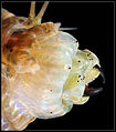 Alitta virens pharynx (dorsal).jpg