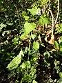 Alliaria petiolata sl1.jpg