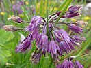 Allium farreri, the first taxon that Stearn described