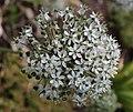 Allium nigrum L.-4F.JPG