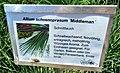 Allium schoenoprasum Middlemann.jpg