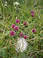 Allium sphaerocephalon var pygmaeum01.jpg