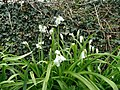 Allium triquetrum, Three Cornered Leek - geograph.org.uk - 748283.jpg
