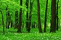 Allium ursinum - Uroczysko Zielona 03.jpg