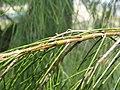 Allocasuarina verticillata3.jpg