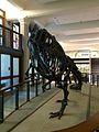 Allosaurus, Guyot Hall, Princeton University.jpg