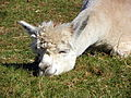 Alpaca (Vicugna pacos) (8121539724).jpg