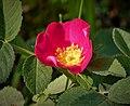 Alpine Rose (Rosa pendulina) (44841824571).jpg