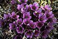 Alpine anemone.jpg