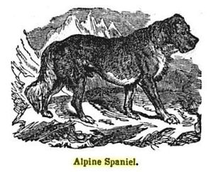 Alpine Spaniel - A drawing of the Alpine Spaniel in 1848, 18 years after they were first crossed with the Newfoundland