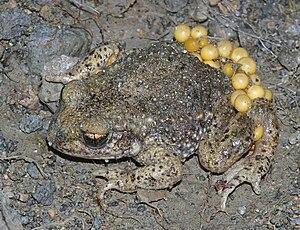 Gemeine Geburtshelferkröte (Alytes obstetricans), Männchen mit frischem Eigelege
