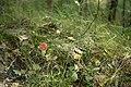 Amanita muscaria in Olgino 1.jpg