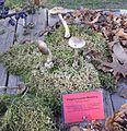 Amanita porphyria - Pilzausstellung Rostock 2015.jpg