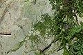 Amblystegium confervoides (a, 144614-474558) 6370.JPG
