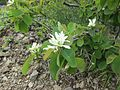 Amelanchier alnifolia (Serviceberry) - Flickr - brewbooks.jpg