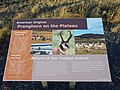 American Original - Pronghorn on the Plateau, Oct 17.jpg