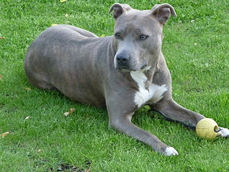 American Staffordshire Terrier - American Staffordshire Terrier