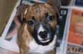 American Staffordshire Terrier puppy.png