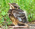 American robin chick (5799905786).jpg