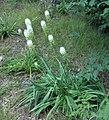 Amianthium muscitoxicum (homeredwardprice) 003.jpg