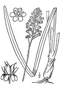 Amianthium muscitoxicum 001