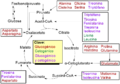 Amino acid catabolism revised-es.png