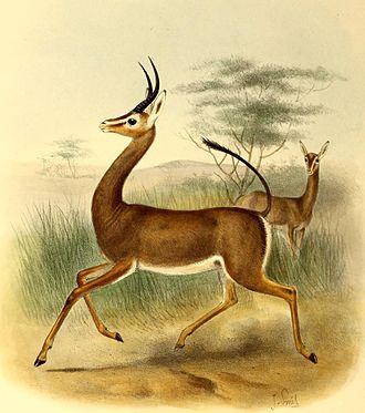 Dibatag - Image: Ammodorcas clarkei The book of antelopes (1894)